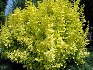 Барбарис Тунберга Ауреа (Berberis thunbergii Aurea)