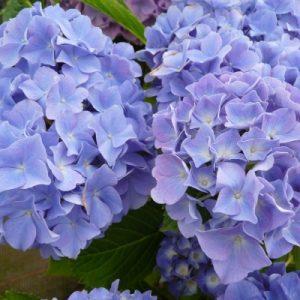 Hydrangea Macrophylla Blauer Zwerg