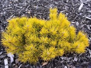 Сосна горная Карстен (Pinus mugo Carsten)