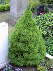 Ель сизая Коника (Picea glauca Conica)