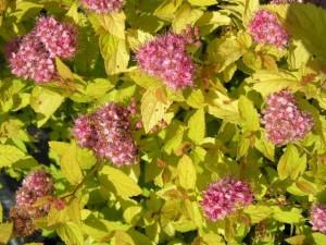 Спирея японская Голден Пинцесс (Spireaea japonica Golden Princess)