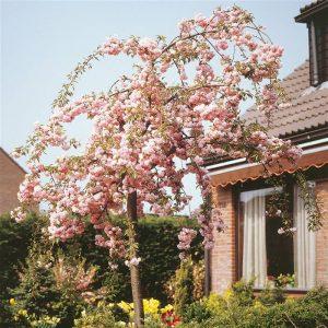 Вишня сакура Кику-шидаре (Prunus Kiku-shidare-zakura)
