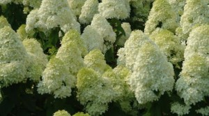 Гортензия древовидная Анабель (Hydrangea arborescens Anabelle)