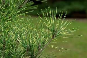 Pinus densiflora Oculus-draconis