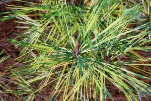 Сосна густоцветковая Окулюс-драконис (Pinus densiflora Oculus-draconis)