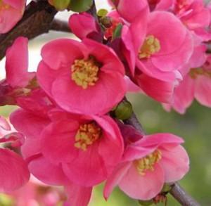 Айва японская превосходная Пинк Леди (Chaenomeles superba Pink Lady)