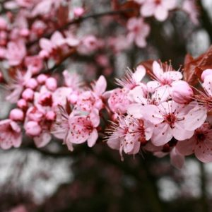 Слива растопыренная Писсарди (Prunus cerasifera Pissardii)