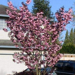 Вишня мелкопильчатая «сакура» Роял Бургунди (Prunus serrulata Royaal Burgundy)