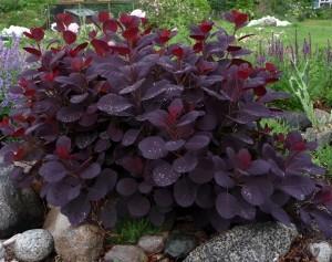 Скумпия кожевенная Роял Пурпл (Cotinus coggigria Royal purple)