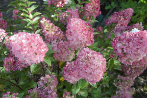 Гортензия метельчатая Сандей Фрайзе (Hydrangea paniculata Sundae Fraise)