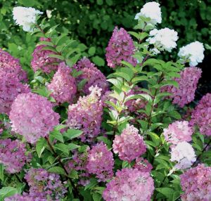 Гортензия метельчатая Ванила Фрайзе (Hydrangea paniculata Sunday Fraise)