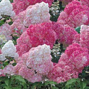 Hydrangea paniculata Vanille-Freise