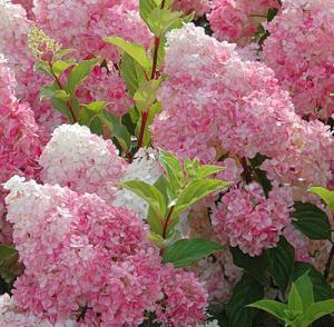 Гортензия метельчатая Ванила Фрайзе (Hydrangea paniculata Vanille-Fraise)