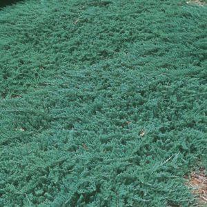 Можжевельник горизонтальный Вилтони (Juniperus horizontalis Wiltonii)