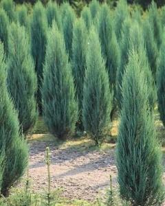 Можжевельник скальный Блу Эрроу (Juniperus scopulorum Blue Arrow)