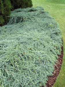 Juniperus squamata Blue Carpet