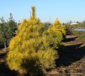 Сосна густоцветковая Ауреа (Pinus densiflora Aurea)