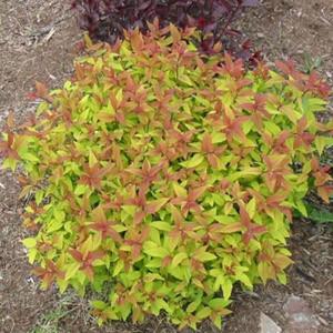 Спирея японская Голдфлейм (Spireaea japonica Goldflame)