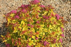 Spireaea japonica Goldflame