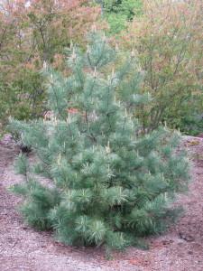 Pinus koraensis