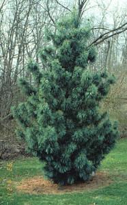 Сосна корейская (Pinus koraensis)
