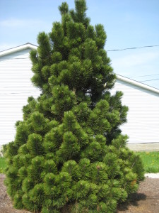 Сосна Гельдрейха или боснийская, белокорая (Pinus leucodermis)