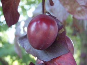 Слива растопыренная Нигра (Prunus cerasifera Nigra)