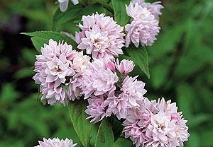 Дейция гибридная Розеа Плена (Deutzia hybrida Rosea Plena)